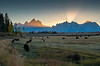 Bison and the Grand Tetons