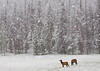 Elk in Spring Snowstorm, Rocky Mountain National Park 2869