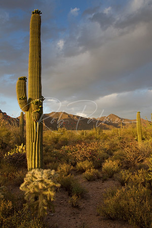 Sonoran Desert at Sunset 5286