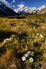 Mount Cook Lilies