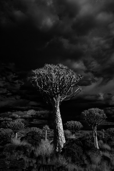 """Quiver Tree Storm"""