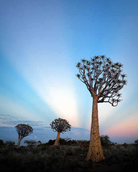 """Quiver Tree Rays"""