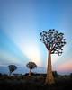 """Quiver Tree Rays"""