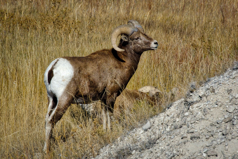 Bighorn Sheep - Badlands National Park