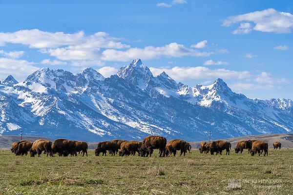 Bison Herd against the Teton Range backdrop - Grand Teton National Park, Wyoming
