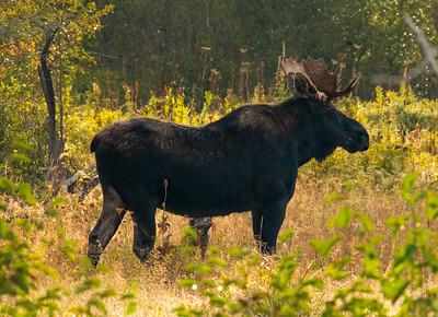 Bull Moose - Grand Teton National Park