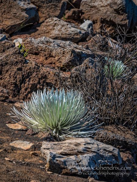 Rare, young Haleakala Silversword plant, locally known as 'Ahinahina.   - Haleakala National Park, Hawaii