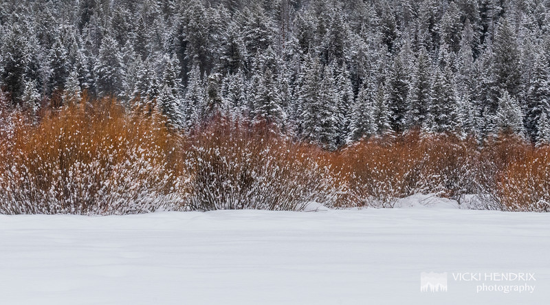 Willows and Pine in the winter - Yellowstone National Park