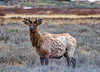 Elk in Spring - Yellowstone National Park