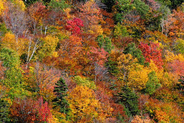 Explosion of Fall Color in the White Mountains
