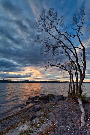 Taupo Tree
