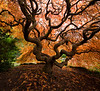 """Japanese Maple Squared"""