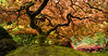 """Japanese Maple Panorama"""