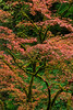 """Japanese Maple Intimate"""