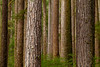 """""""Trees of the Forest""""<br /> <br /> The beautiful tree trunks in the forest of the Sol Duc Valley, Olympic National Park, Washington State."""