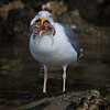 Greedy Gull-9244