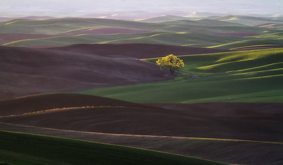 Lone tree at sunrise from Steptoe Butte.