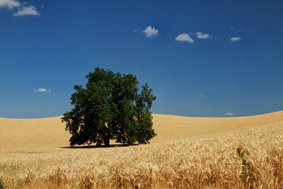 Lone tree and wheat under the blue sky.