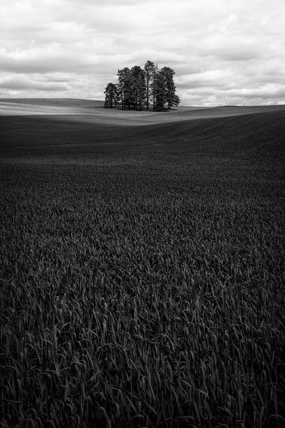 """Palouse Wheat"""