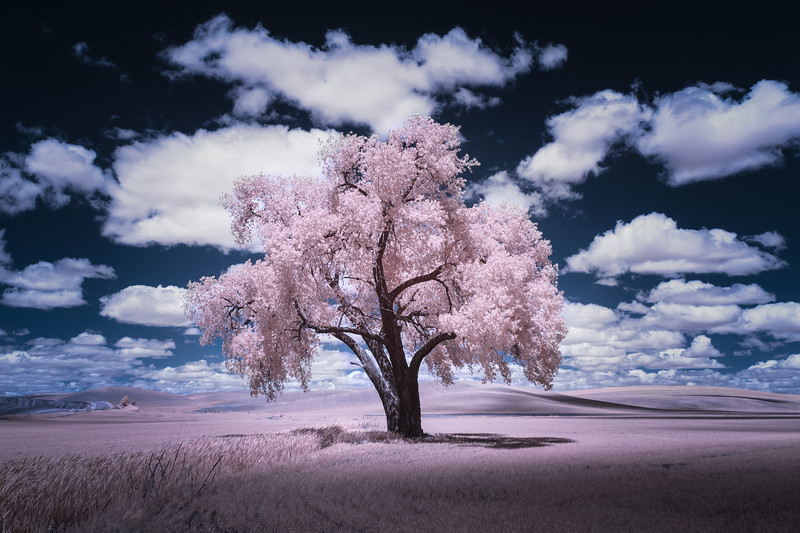 """Pink Cottonwood"""