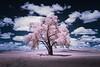 """Pink Cottonwood"""