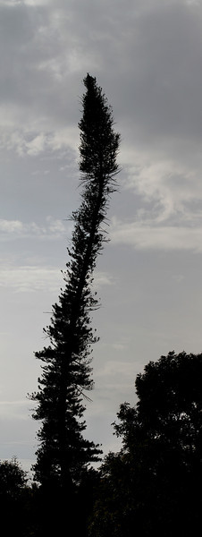 Curvy Tree - Kandy, Sri Lanka