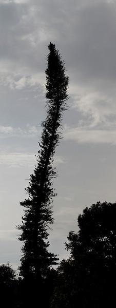 Curvy Tree - Kandy, Sri Lanka