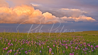 Pawnee Flowers, Pawnee National Grasslands