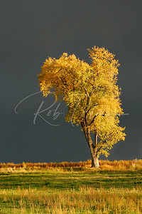 Cottonwood after the Storm, NE Colorado