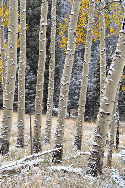 """Aspens in Snow"""
