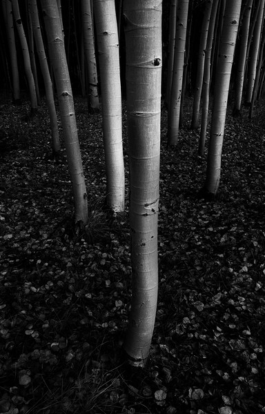 """Aspen Black and White #2"""