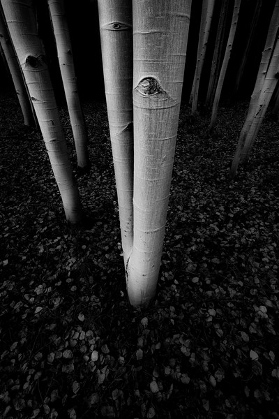 """Aspen Black and White #1"""