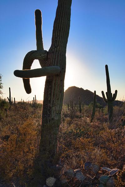 Saguaros, Saguaro West NP, Tucson, Arizona