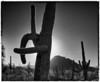 Saguaro sunset, Saguaro West NP, Tucson, Arizona