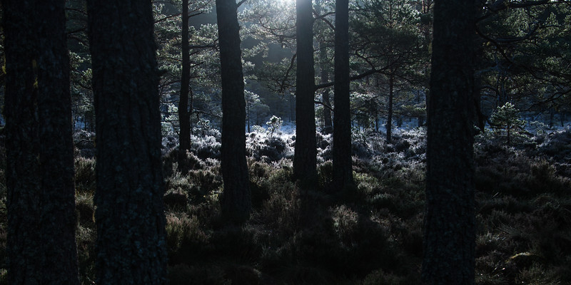 Forest Frost Dawn - Abernethy, Scotland