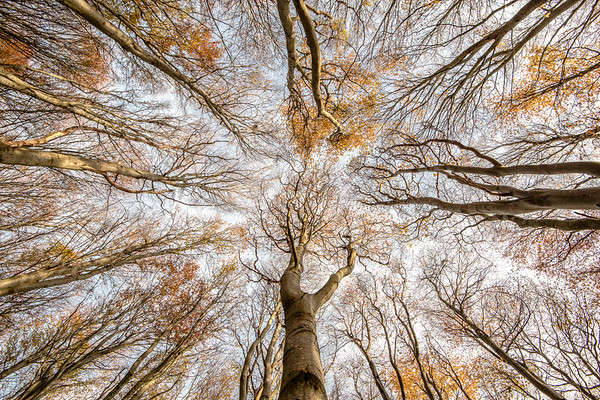 Beech For The Sky - East Lothian, Scotland