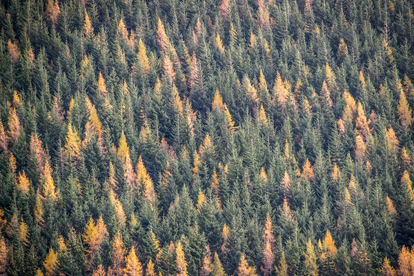 Autumn Larch - Coylumbridge, Scotland