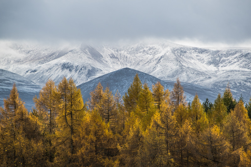 Larch into Winter - Cairngorms, Scotland