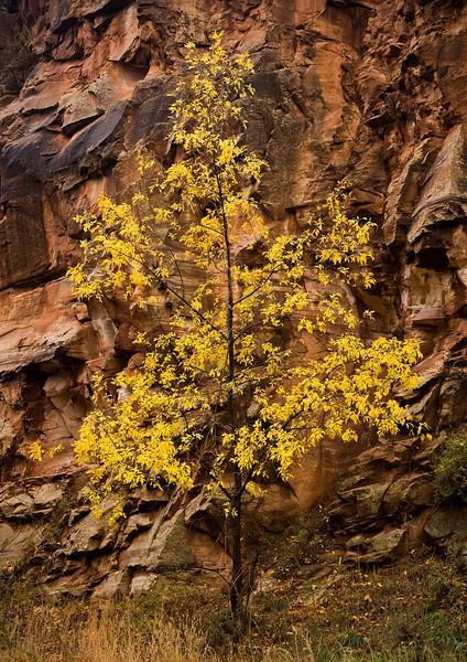 Cottonwood tree<br /> Sedona, Arizona