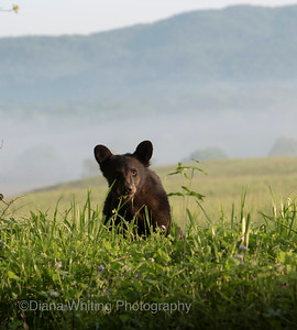 Black Bear Yearling