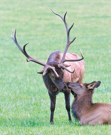 Bull elk and one of his harem in an affectionate moment