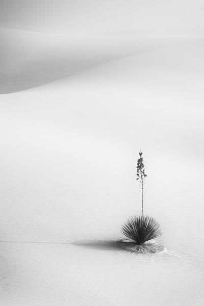 """""""Yucca in Fog"""""""
