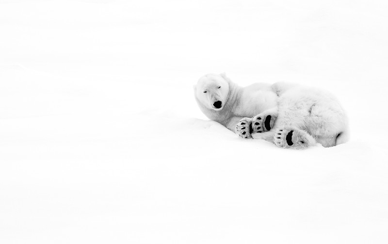 """Polar Bear #1"""