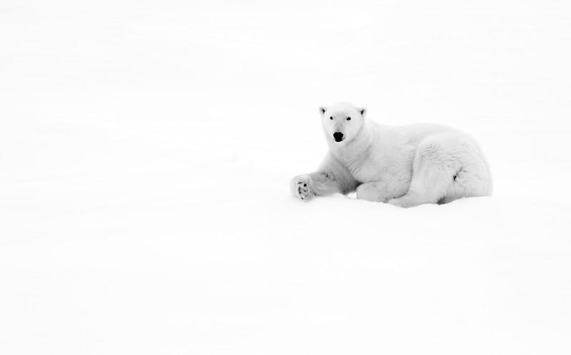 """Polar Bear #5"""