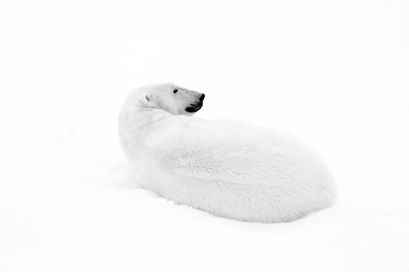 """Polar Bear #4"""