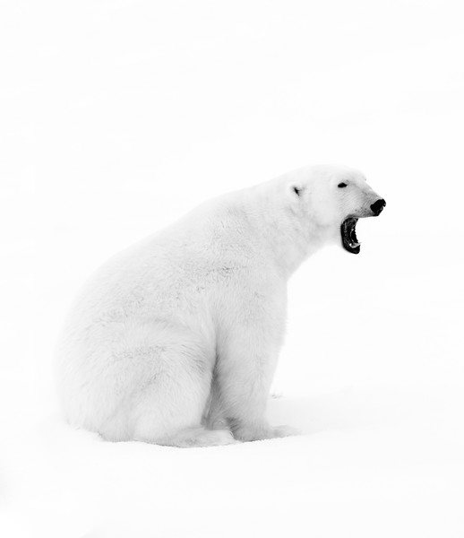 """Polar Bear #8"""