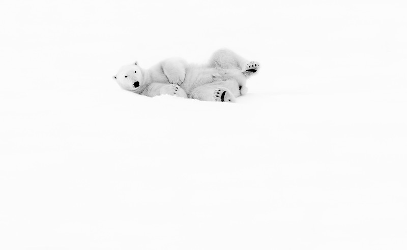 """Polar Bear #6"""