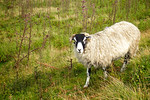 Black Face Sheep on the North York Moors