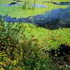 MONKEY FLOWERS, WATER LILIES, FLORE3NCE, OREGON