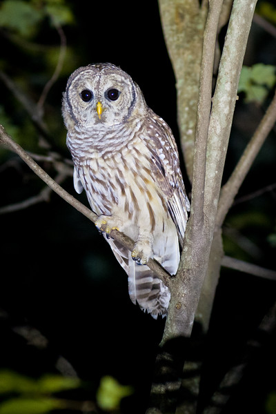 Barred Owl, Kendall Mountain Road, Tolland, CT